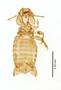 28869 Eutrichophilus emersoni PT d IN