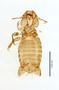 28869 Eutrichophilus emersoni PT v IN