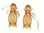 28872 Eutrichophilus emersoni PT d IN