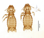 28872 Eutrichophilus emersoni PT v IN