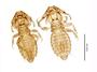 28874 Eutrichophilus emersoni PT d IN