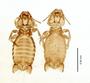 28875 Eutrichophilus emersoni PT d IN