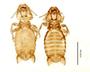 28875 Eutrichophilus emersoni PT v IN