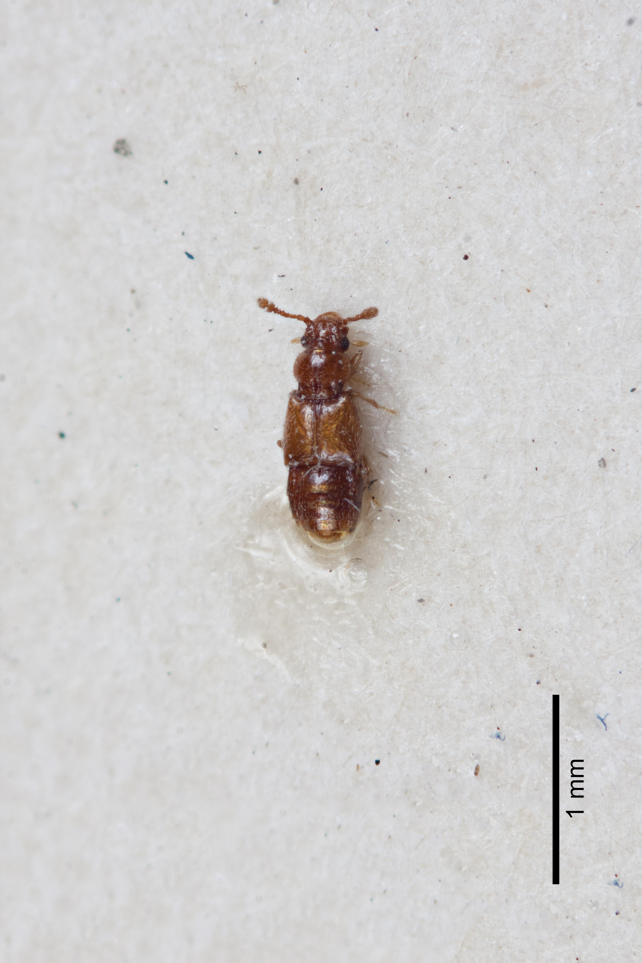 Image of Edaphus taiwanensis