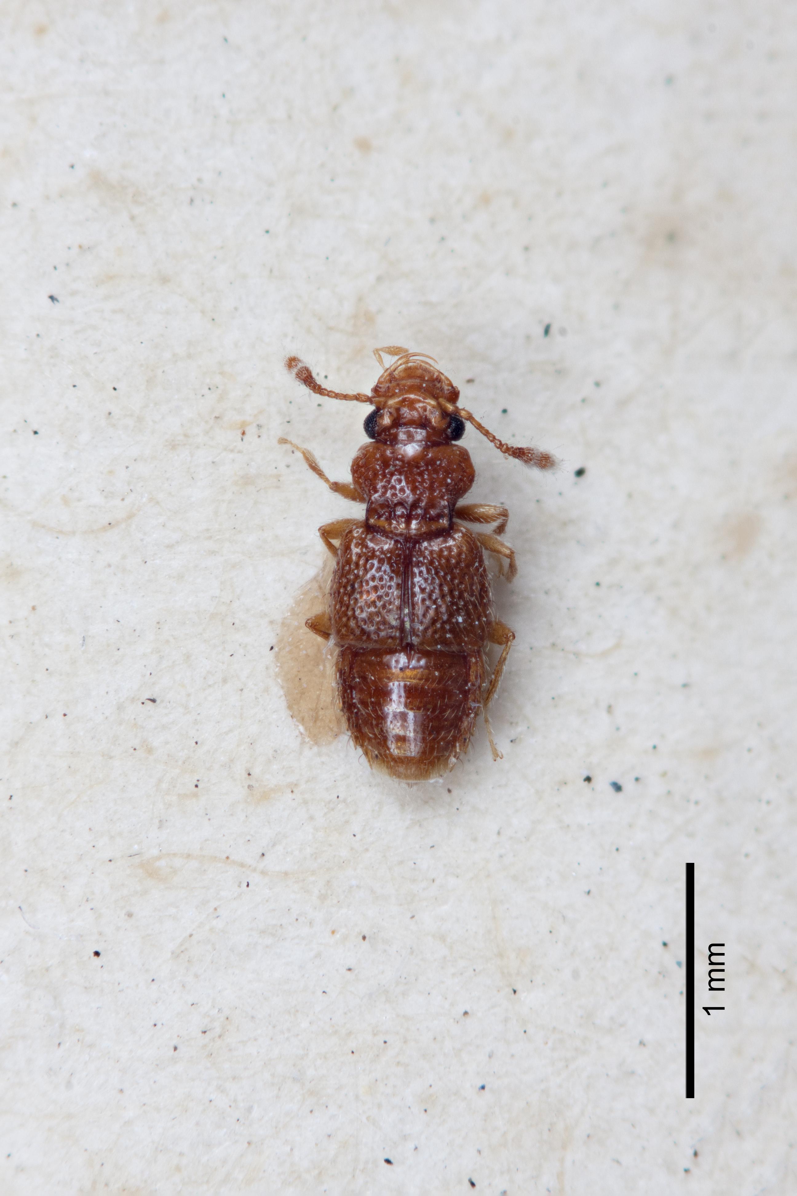 Image of Edaphus vulneratus