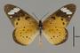124204 Acraea sp d IN