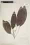 Rhodothyrsus macrophyllus (Ducke) Esser, BRAZIL, F