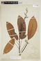 Rhodothyrsus macrophyllus (Ducke) Esser, PERU, F