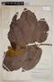 Helicostylis pedunculata Benoist, BRAZIL, F