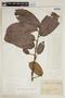 Helicostylis pedunculata Benoist, FRENCH GUIANA, F