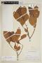 Helicostylis scabra (J. F. Macbr.) C. C. Berg, COLOMBIA, F