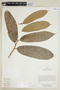 Helicostylis scabra (J. F. Macbr.) C. C. Berg, ECUADOR, F