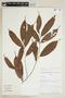 Helicostylis scabra (J. F. Macbr.) C. C. Berg, PERU, F
