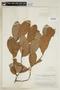 Helicostylis scabra (J. F. Macbr.) C. C. Berg, BRAZIL, F