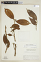 Helicostylis tomentosa (Poepp. & Endl.) Rusby, VENEZUELA, F