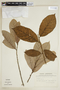 Helicostylis tomentosa (Poepp. & Endl.) Rusby, SURINAME, F
