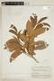 Helicostylis tomentosa (Poepp. & Endl.) Rusby, BOLIVIA, F