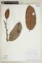 Helicostylis tomentosa (Poepp. & Endl.) Rusby, ECUADOR, F