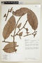 Helicostylis tomentosa (Poepp. & Endl.) Rusby, COLOMBIA, F