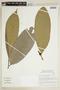 Helicostylis tomentosa (Poepp. & Endl.) Rusby, BRAZIL, F