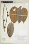 Helicostylis tomentosa (Poepp. & Endl.) Rusby, PERU, F