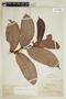 Helicostylis tomentosa (Poepp. & Endl.) Rusby, BRITISH GUIANA [Guyana], F