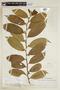 Helicostylis tovarensis (Klotzsch & H. Karst.) C. C. Berg, VENEZUELA, F