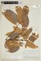 Helicostylis tovarensis (Klotzsch & H. Karst.) C. C. Berg, BRAZIL, F