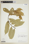 Helicostylis tovarensis (Klotzsch & H. Karst.) C. C. Berg, ECUADOR, F