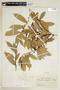 Helicostylis tovarensis (Klotzsch & H. Karst.) C. C. Berg, COLOMBIA, F