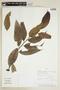 Helicostylis tovarensis (Klotzsch & H. Karst.) C. C. Berg, PERU, F