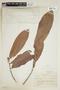 Naucleopsis amara Ducke, BRAZIL, F