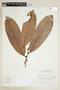Naucleopsis concinna (Standl.) C. C. Berg, BRAZIL, F