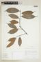 Naucleopsis concinna (Standl.) C. C. Berg, ECUADOR, F