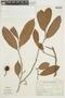 Naucleopsis guianensis (Mildbr.) C. C. Berg, SURINAME, F
