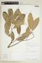 Naucleopsis Miq., PERU, F
