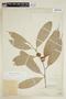 Naucleopsis glabra Baill., PERU, F