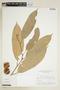 Naucleopsis glabra Baill., BRAZIL, F