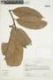 Naucleopsis imitans (Ducke) C. C. Berg, COLOMBIA, F