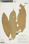 Naucleopsis imitans (Ducke) C. C. Berg, BRAZIL, F