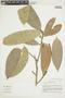 Naucleopsis krukovii (Standl.) C. C. Berg, BOLIVIA, F