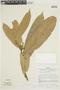 Naucleopsis krukovii (Standl.) C. C. Berg, PERU, F