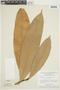 Naucleopsis macrophylla Miq., BRAZIL, F