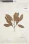 Naucleopsis mello-barretoi (Standl.) C. C. Berg, BRAZIL, F