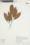 Naucleopsis mello-barretoi (Standl.) C. C. Berg, PERU, F