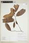 Naucleopsis oblongifolia (Kuhlm.) Carauta, PERU, F
