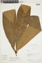 Naucleopsis ulei (Warb.) Ducke, PERU, F