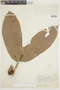Naucleopsis ulei (Warb.) Ducke, BRAZIL, F