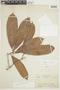 Naucleopsis Miq., BRAZIL, F