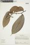 Pseudolmedia laevis (Ruíz & Pav.) J. F. Macbr., COLOMBIA, F
